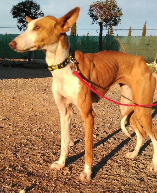 Spandy Perros en Adopcion Yecla Alexa 8 (2)