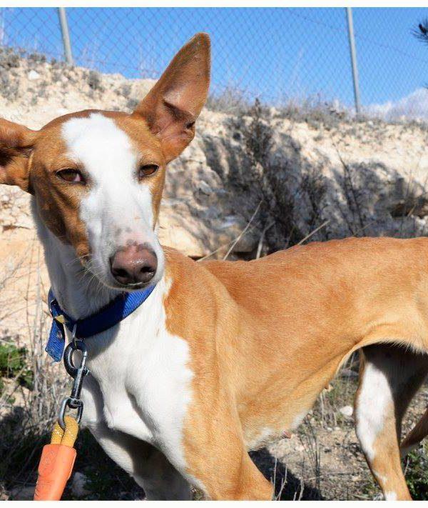 Spandy Perros en Adopcion Yecla Alexa 8 (3)
