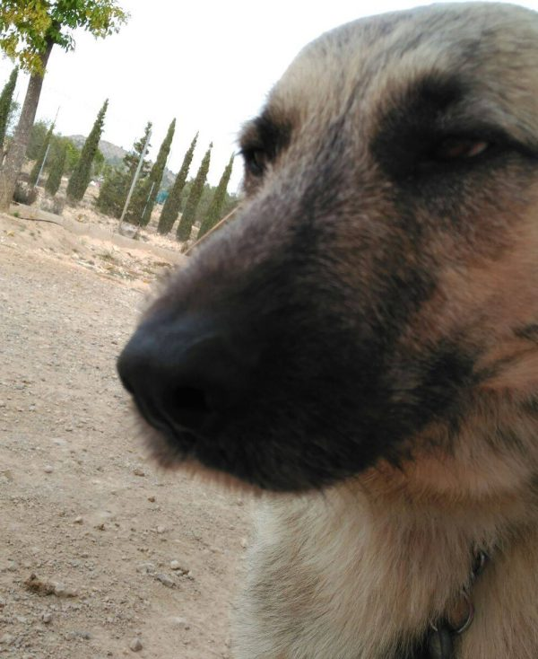 Spandy Perros en Adopcion Yecla Balto