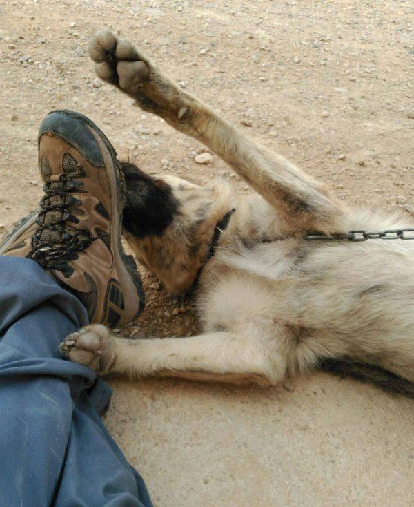 Spandy Perros en Adopcion Yecla Balto 8