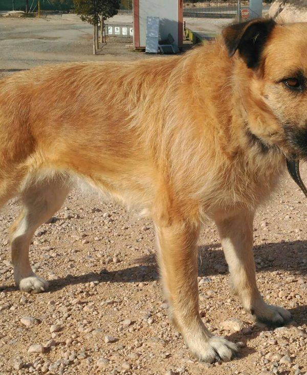 Spandy Perros en Adopcion Yecla Guinda 1