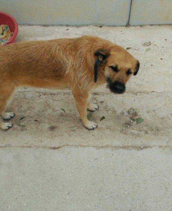 Spandy Perros en Adopcion Yecla Guinda 2