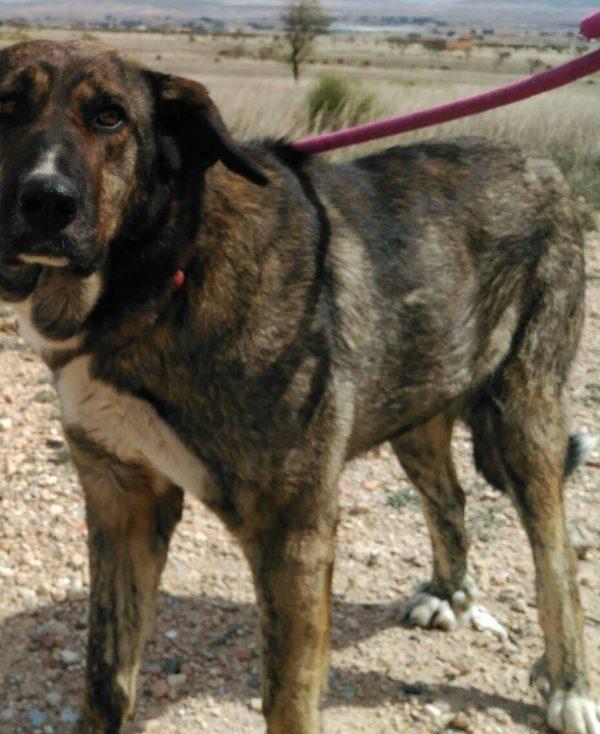 Spandy Perros en Adopcion Yecla Risi 1