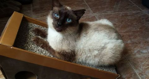 Spandy-Gatos-en-adopcion-Yecla-Coffey-3