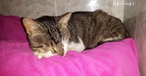 Spandy-Gatos-en-adopcion-Yecla-Lince-4