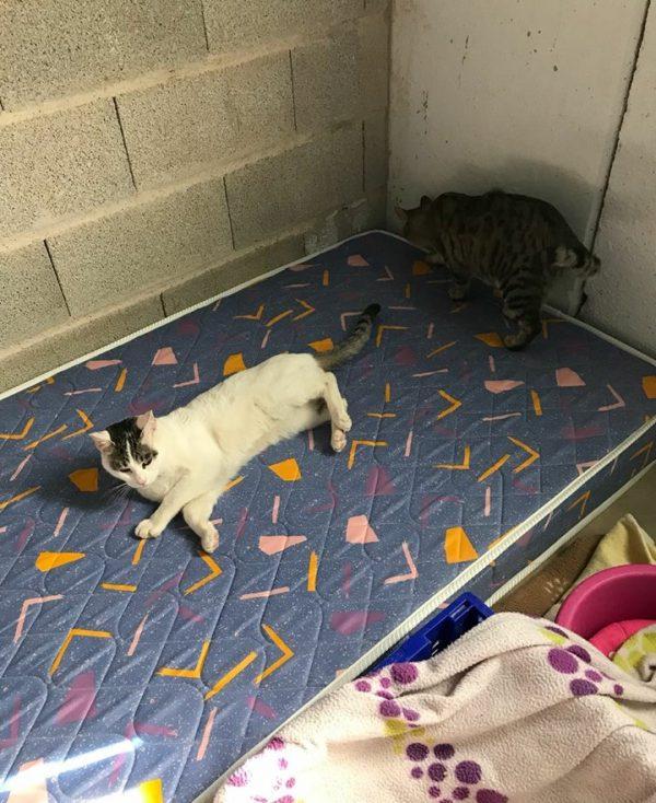 Spandy-Gatos-en-adopcion-Yecla-Romrom-1