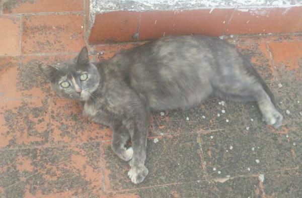Spandy-Gatos-en-adopcion-Yecla-carmela-1