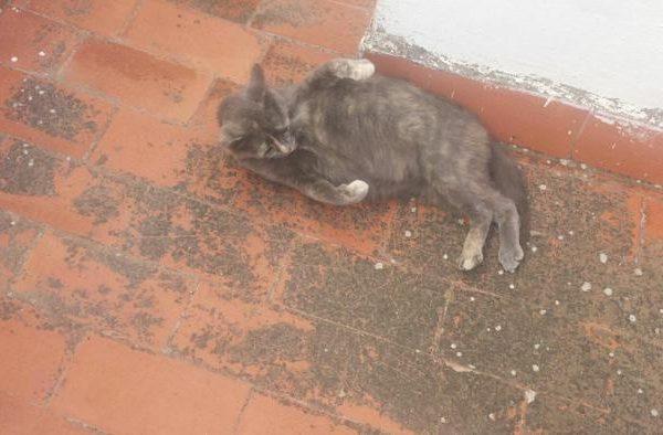 Spandy-Gatos-en-adopcion-Yecla-carmela-2