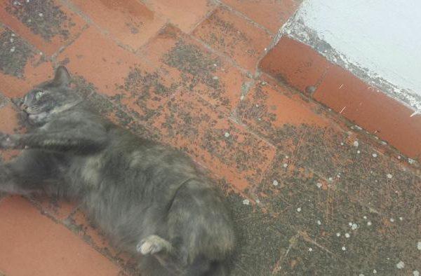 Spandy-Gatos-en-adopcion-Yecla-carmela-4