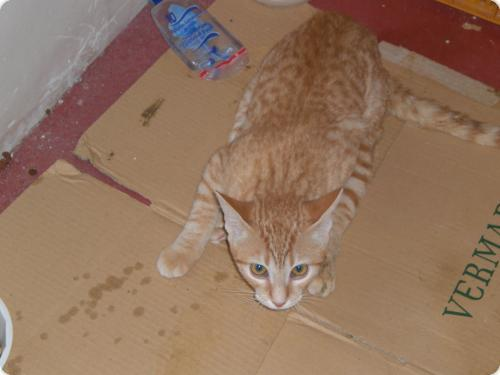 Spandy-Gatos-en-adopcion-Yecla-lucky-1