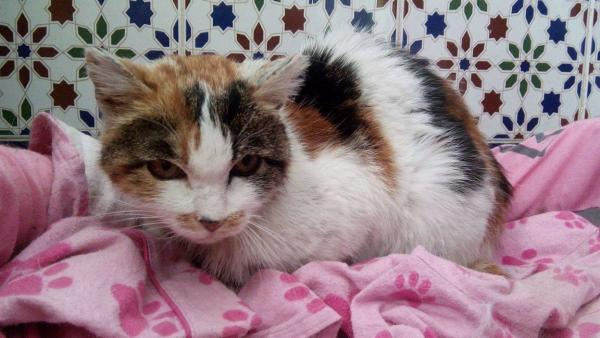 Spandy-Gatos-en-adopcion-Yecla-mila-1