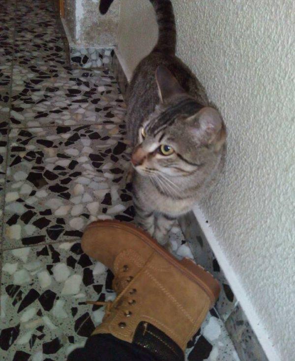 Spandy-Gatos-en-adopcion-Yecla-ska-3