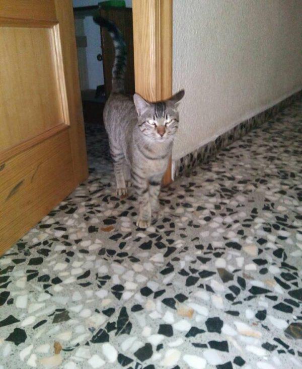 Spandy-Gatos-en-adopcion-Yecla-ska-4