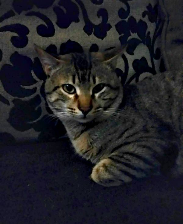 Spandy-Gatos-en-adopcion-Yecla-ska-5