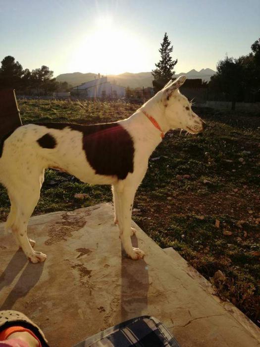 Spandy Perros en Adopcion Yecla Energy 1