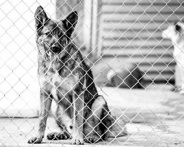 Spandy-Perros-en-adopcion-Yecla-Chester-2