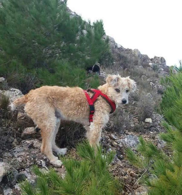 Spandy-Perros-en-adopcion-Yecla-Cru-5