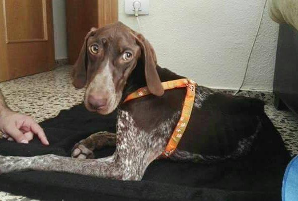 Spandy-Perros-en-adopcion-Yecla-Freya-4