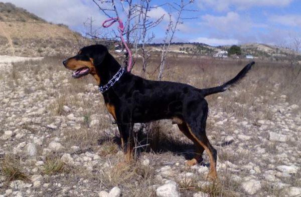 Spandy-Perros-en-adopcion-Yecla-Gonzo-10