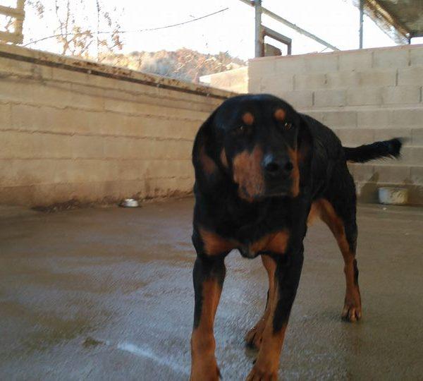 Spandy-Perros-en-adopcion-Yecla-Gonzo-6