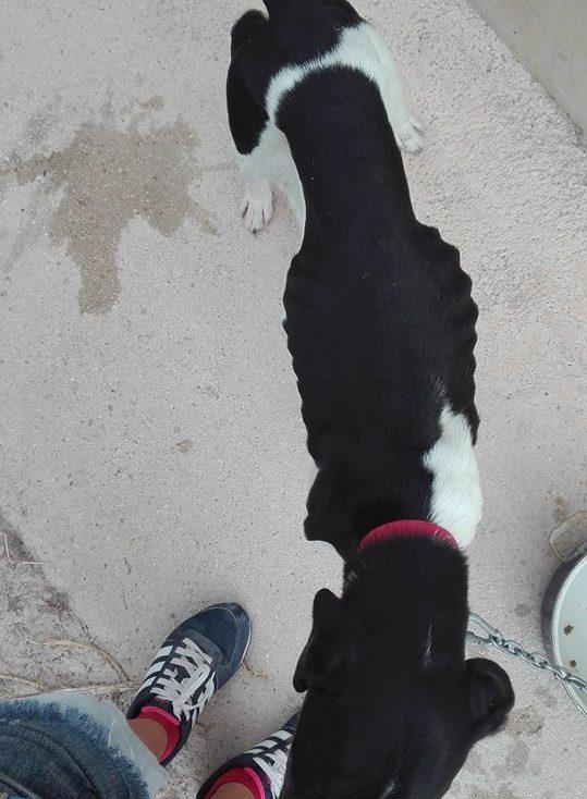 Spandy-Perros-en-adopcion-Yecla-Hathor-3