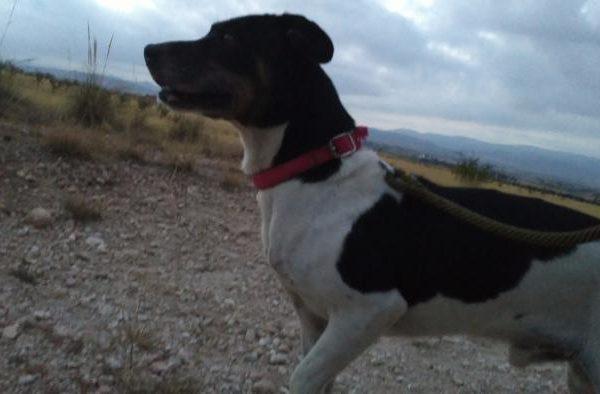 Spandy-Perros-en-adopcion-Yecla-Hathor-8