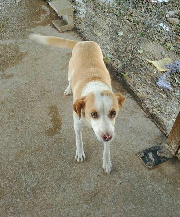 Spandy-Perros-en-adopcion-Yecla-Lina-10