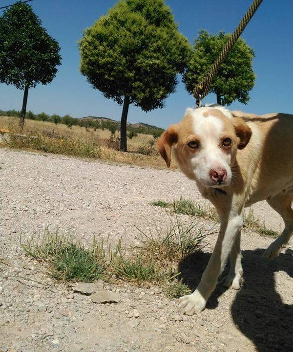 Spandy-Perros-en-adopcion-Yecla-Lina-11