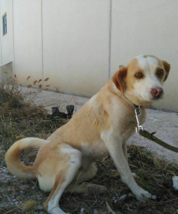 Spandy-Perros-en-adopcion-Yecla-Lina-12