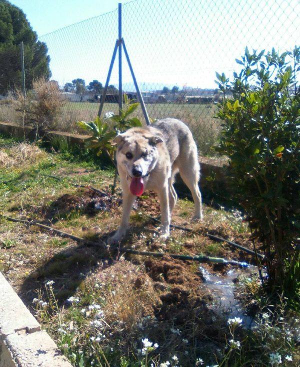 Spandy-Perros-en-adopcion-Yecla-Lucky-1