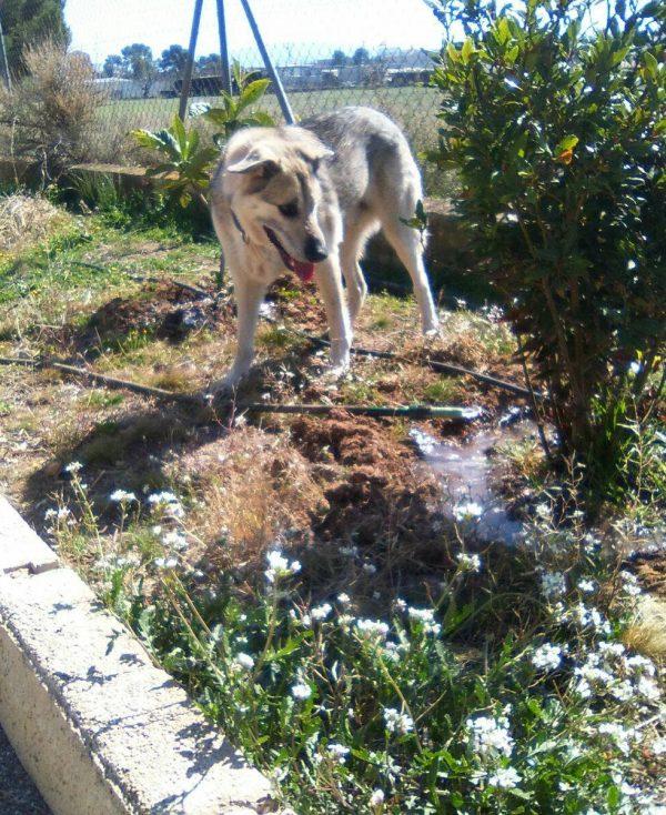Spandy-Perros-en-adopcion-Yecla-Lucky-3