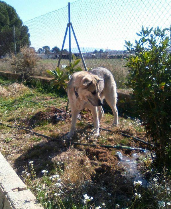 Spandy-Perros-en-adopcion-Yecla-Lucky-4