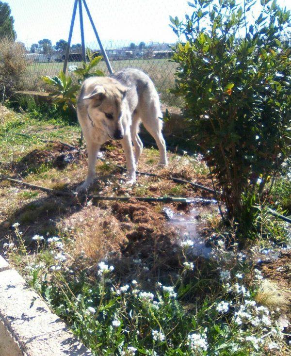 Spandy-Perros-en-adopcion-Yecla-Lucky-5