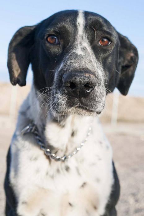 Spandy-Perros-en-adopcion-Yecla-Manchas-1