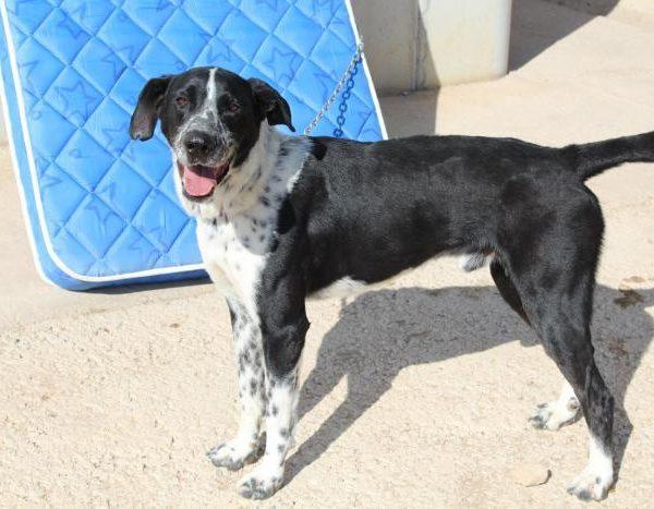 Spandy-Perros-en-adopcion-Yecla-Manchas-2