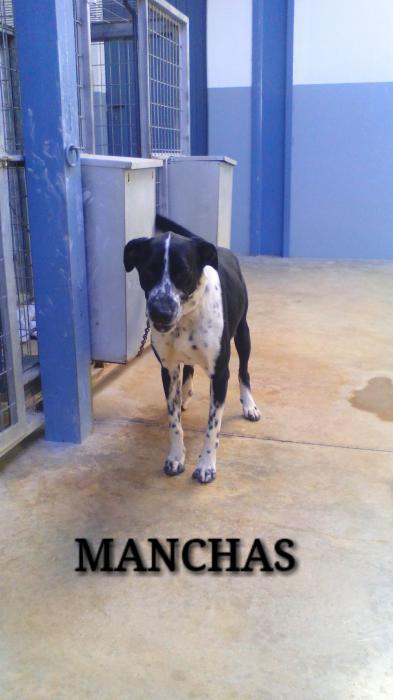 Spandy-Perros-en-adopcion-Yecla-Manchas-9