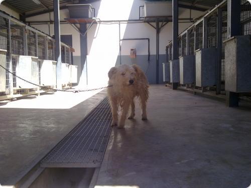 Spandy-Perros-en-adopcion-Yecla-Nuba-2