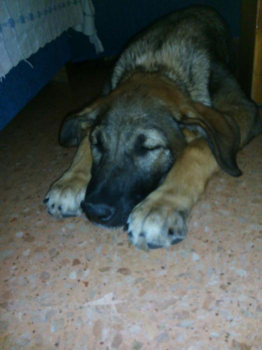 Spandy-Perros-en-adopcion-Yecla-Piluca-4