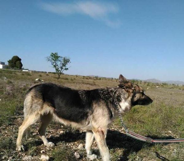 Spandy-Perros-en-adopcion-Yecla-Salma-4