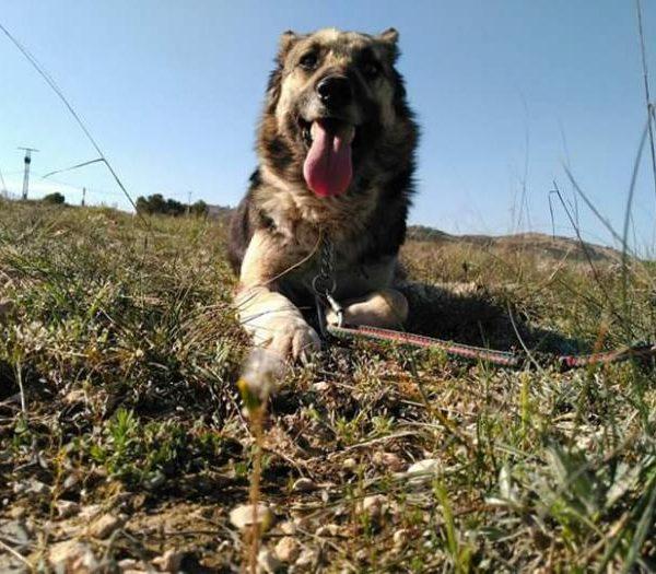 Spandy-Perros-en-adopcion-Yecla-Salma-7