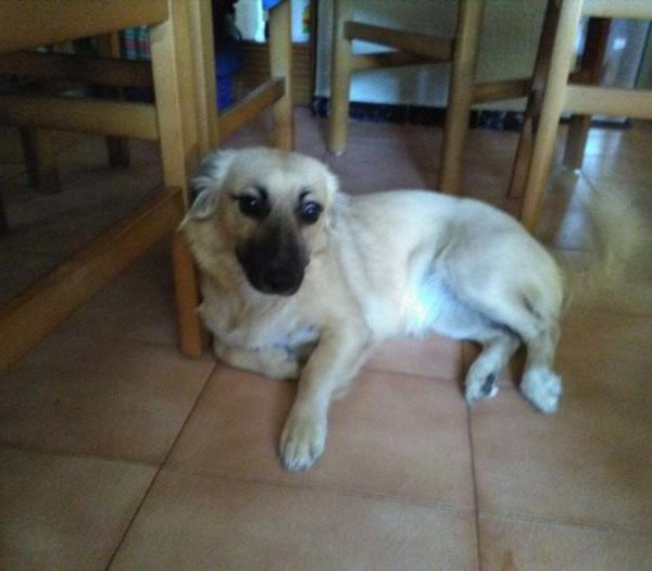 Spandy-Perros-en-adopcion-Yecla-Selva-1