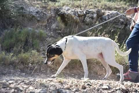 Spandy-Perros-en-adopcion-Yecla-Smaug-7