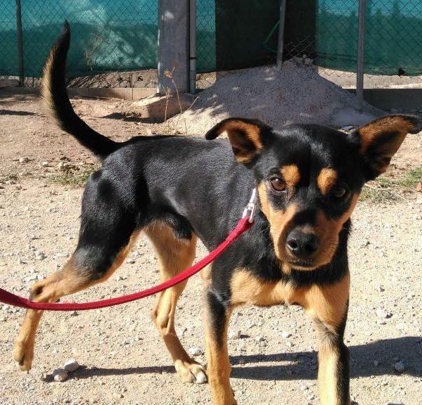 Spandy-Perros-en-adopcion-Yecla-Tico-1