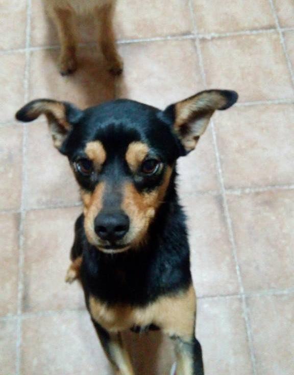 Spandy-Perros-en-adopcion-Yecla-Tico-2