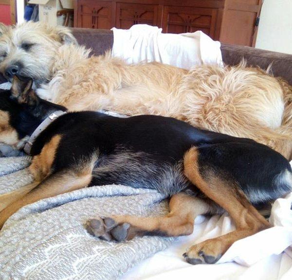 Spandy-Perros-en-adopcion-Yecla-Tico-3