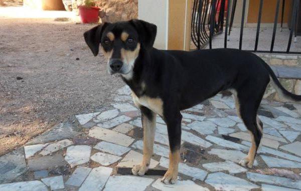 Spandy-Perros-en-adopcion-Yecla-Viernes-1