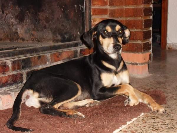 Spandy-Perros-en-adopcion-Yecla-Viernes-4