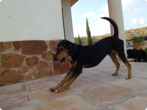 Spandy-Perros-en-adopcion-Yecla-chuche-1