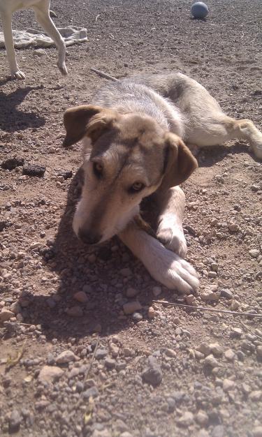 Spandy-Perros-en-adopcion-Yecla-grey-2