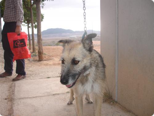Spandy-Perros-en-adopcion-Yecla-kumba